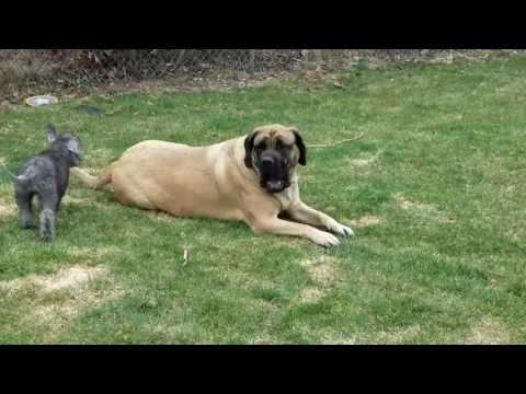 English Mastiff and Bedlington Terrier Puppy Play