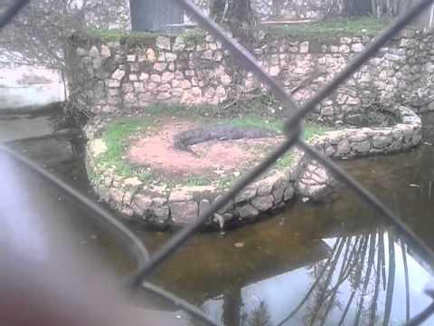 Dangerous Male Crocodile @ Nigerian Zoo