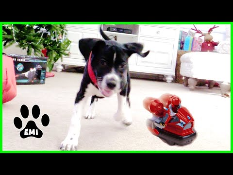 Emi Fighting RC Bumper Cars – Cute English Pointer Puppy Playing – EMIS WORLD