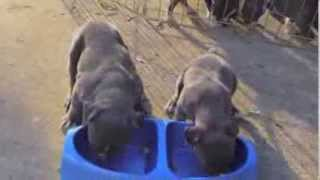 BLUE NOSE BULLY PUPPIES 4 WEEKS OLD