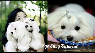 Grooming:  Maltese Tear Stains ~eye Envy Review ~how To Use Eye Envy Vs Our Normal Cleaning Routine
