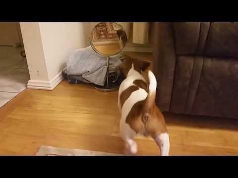 Jack Russell puppy Vs mirror