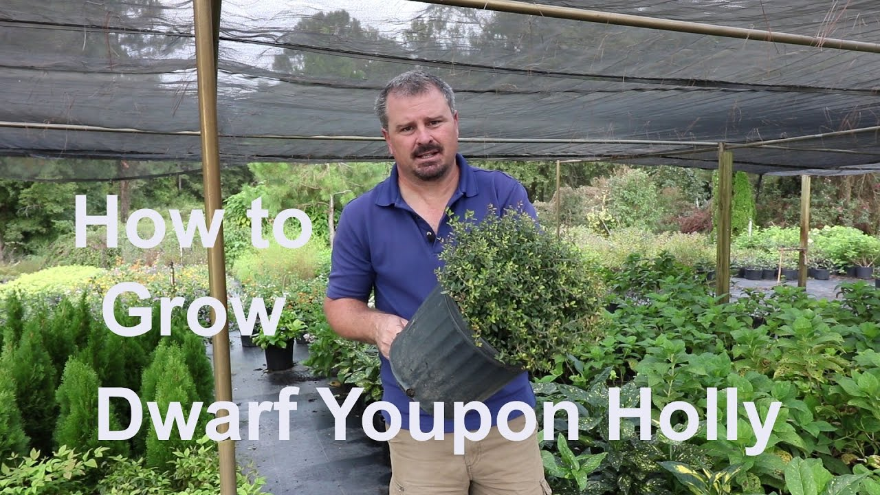 How To Grow Dwarf Youpon Holly Very Low Maintenance With Detailed Description
