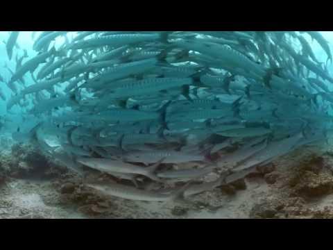 اسبح في وسط إعصار من سمك الباراكودا في هذا الملف التفاعلي بتقنية 360 درجة.  - نشر قبل 2 ساعة