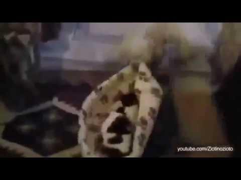 Katzen stehlen die Hunde Betten sehr lustige Videos youtube Compilation