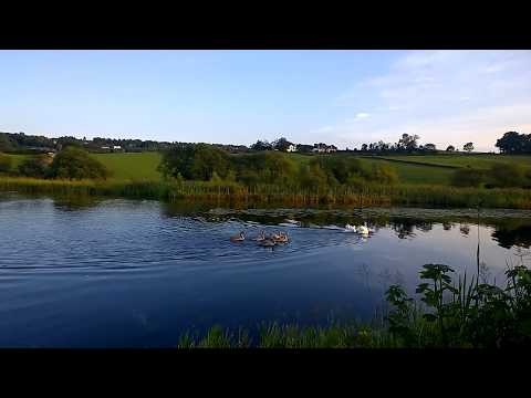 Swans & cycnets forth and clyde canal