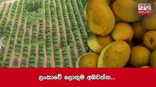 largest-mango-plantation-in-sri-lanka