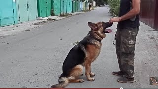 ДРЕССИРОВКА СОБАК. Немецкая овчарка Босс. Dog training. Одесса.