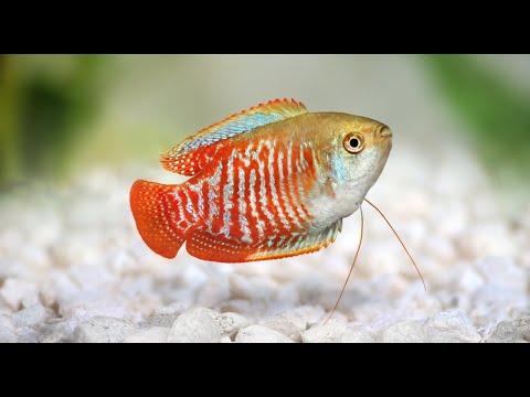Dwarf Gourami Aquarium Fish Profile