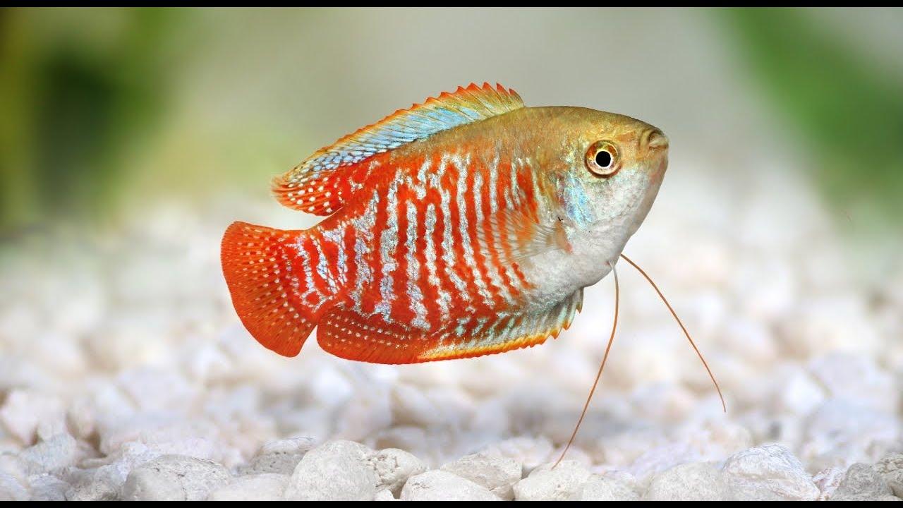 Dwarf Gourami Aquarium Fish Profile Youtube