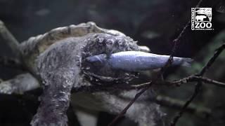 Alligator Snapping Turtle - Cincinnati Zoo