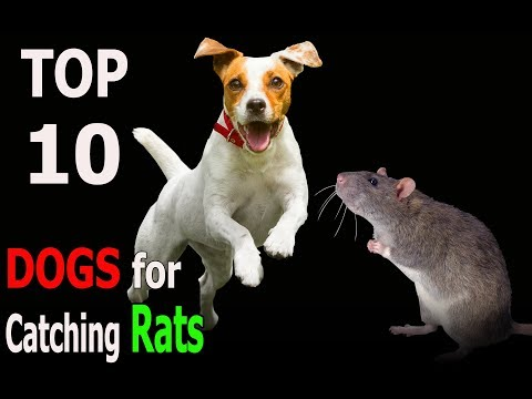 Top 10 Dog Breeds for Catching Rats | Top 10 animals