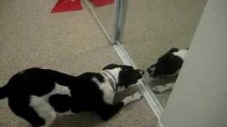 round 3 - SKYY vs. the Canaan Dog in the mirror