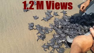 New Born Baby Turtles Released In The Ocean By The People