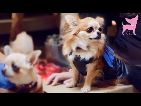 Cute Chihuahua Dog Fashion Show with Tiny Dog Models