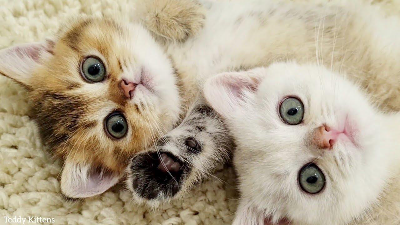 Two cute sleepy kittens 🥰 Toffee and Milky