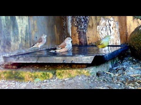 Вопрос: Как не дать водорослям расти в купалке для птиц?