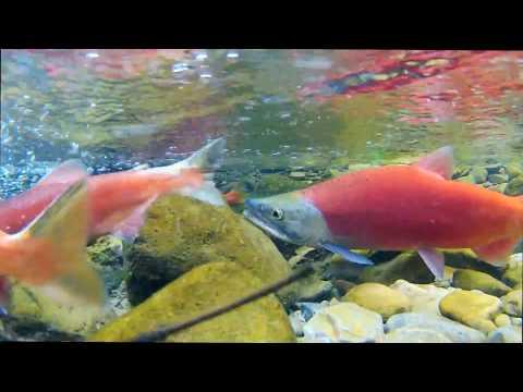 Causey Reservoir Kokanee Salmon Run 2013
