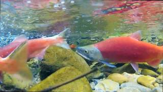 Kokanee Salmon Run 2013