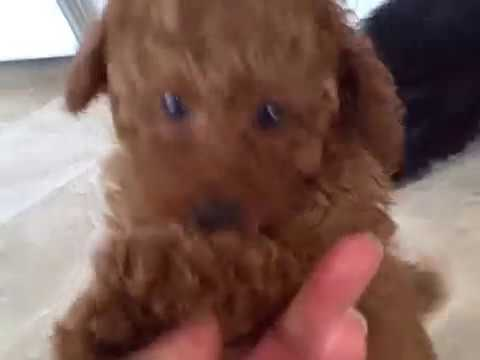 Two toy and miniature poodle puppy litters
