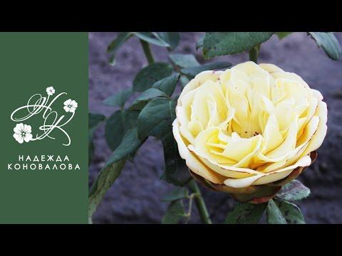 Желтая садовая роза из фоамирана с пышной серединкой по шаблонам лепестков живого цветка