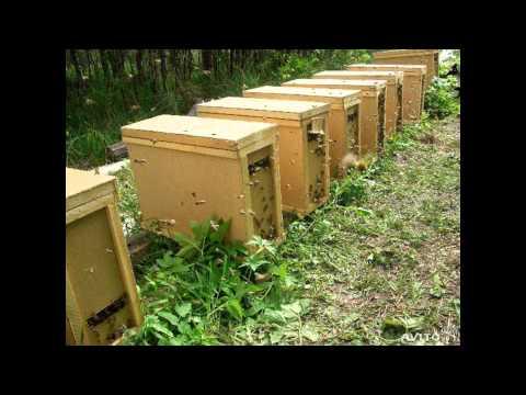 Пчелопакеты и пчелосемьи цена
