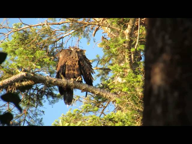 Saxe Pt. Park Eagles ~ 20 July 2013 Travel Video