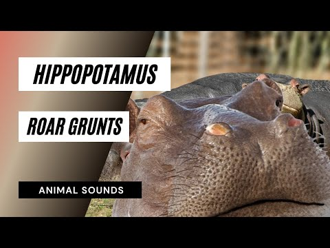 The Animal Sounds: Hippopotamus, Roar, Grunts - Sound Effect - Animation