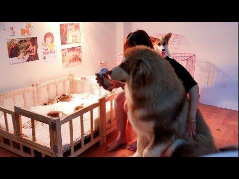 Dám trêu chó con mới sinh - Alaska Mật bị Corgi Meo đánh sấp mặt ==)) Corgi Puppy So Cute