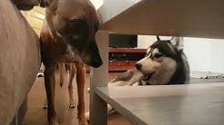Koirien kieli, rauhoittavat eleet. Susi rauhoittaa tilanteen.