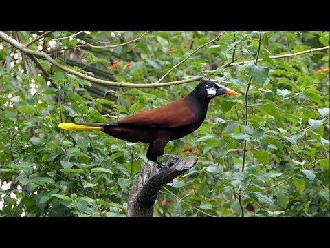 Montezuma Oropendola In Costa Rica.