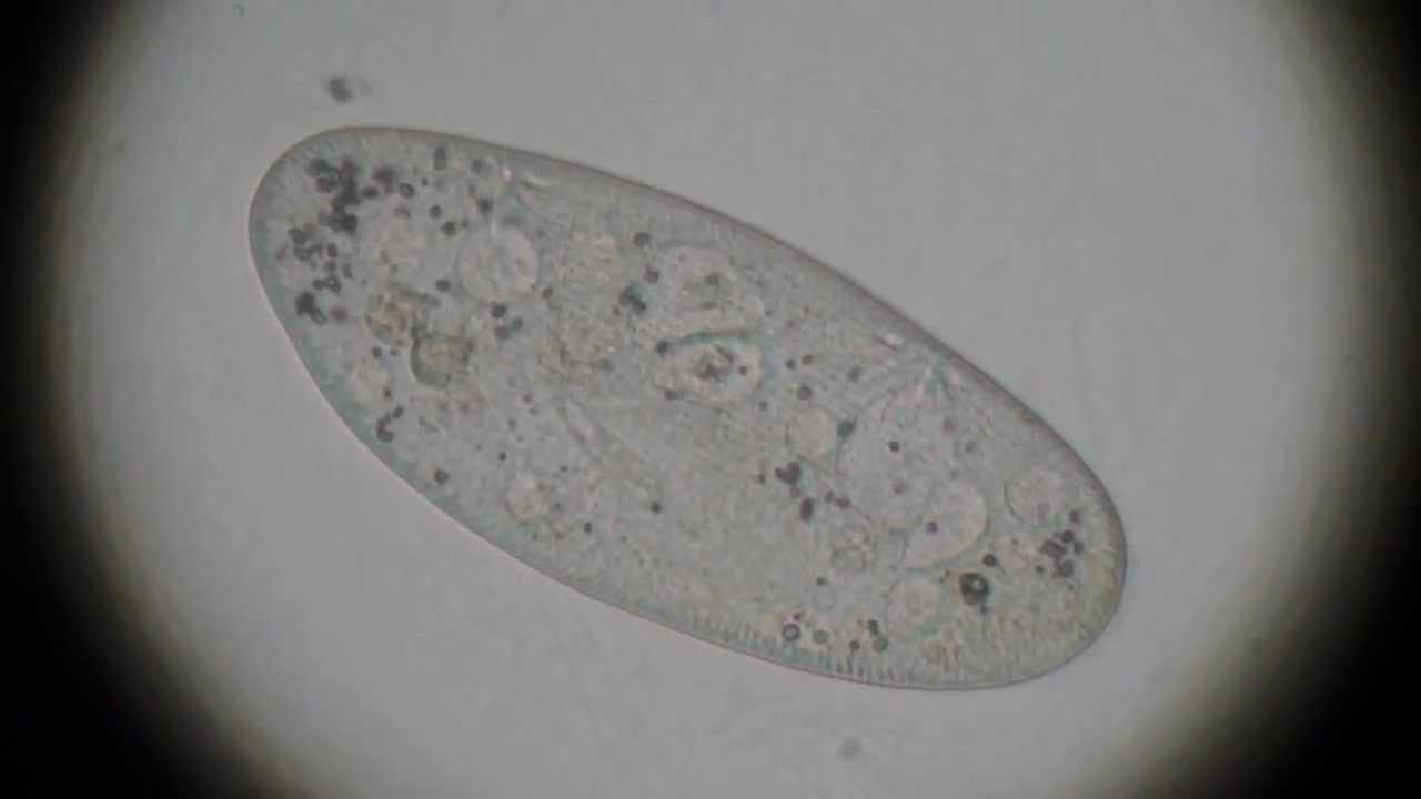 Paramecium Under Micro...