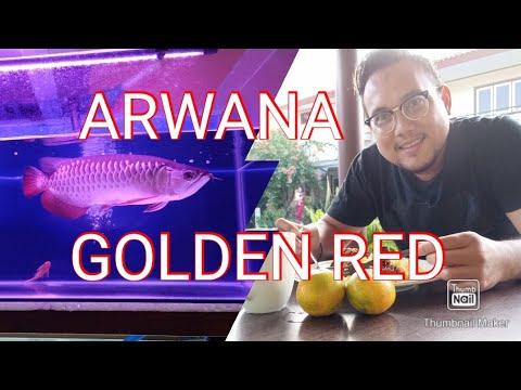 ARWANA GOLDEN RED - YouTube