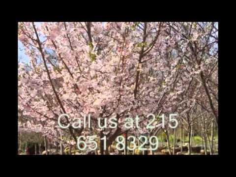 How To Buy Okami Cherry Trees East Coast Lol Youtube