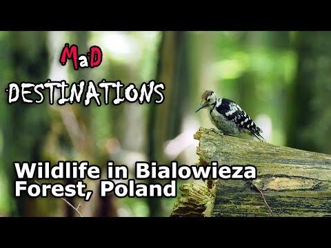 Wildlife in Bialowieza Forest, Poland