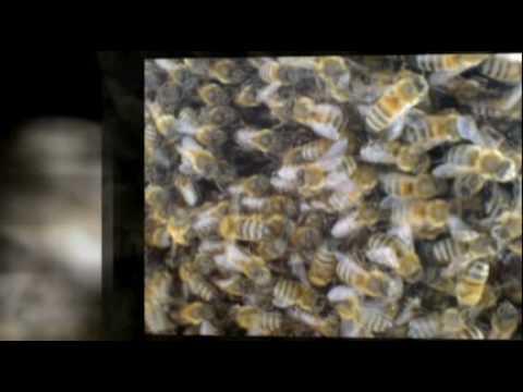 Urban Bees in London