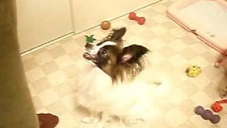我が家の愛犬りぼん パピヨン♀1歳 スワレ フセ 抱っこ!を習得!! つか 姉ほど一生懸命になれず これしか今のところ教えてない ...