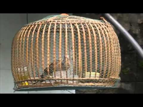 Suara burung tekukur betina mp3