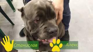 Кане Корсо - как правильно тренировать собак