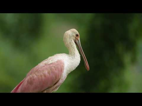Roseate spoonbill makes a rare appearance in Pennsylvania