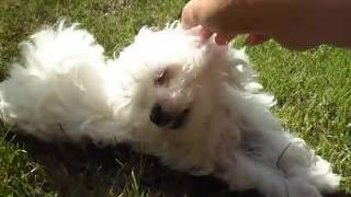 Picking up Maltese Puppy / Happy Home Day Sophie!
