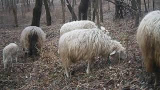 Совместное содержание коз и овец