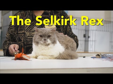 The Selkirk Rex at a TICA Cat Show