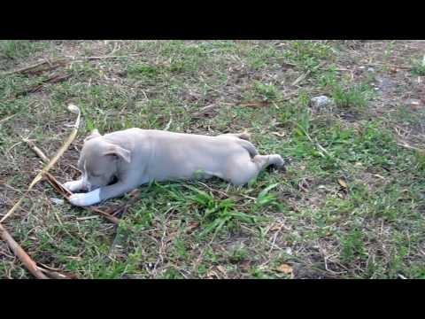 ( SOLD! ) Blue Nose Pit Bull Puppy for Sale in Fort Lauderdale Area