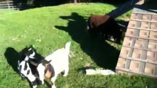 Mini Horse Henry Kapono Plays with the Goats