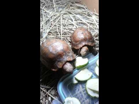 Tortoise Habitat And Feeding