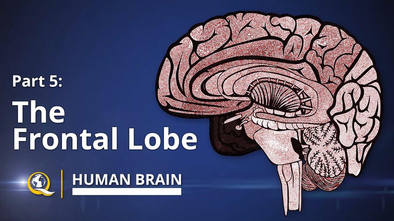 Frontal Lobe Human Brain Series Part 5 Youtube