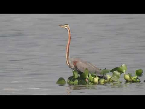 Great Video of Purple Heron (Ardea purpurea) at East Kolkata Wetlands