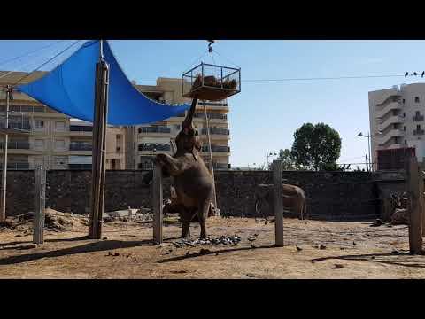 Asiatic elephant feeding enrichment 2