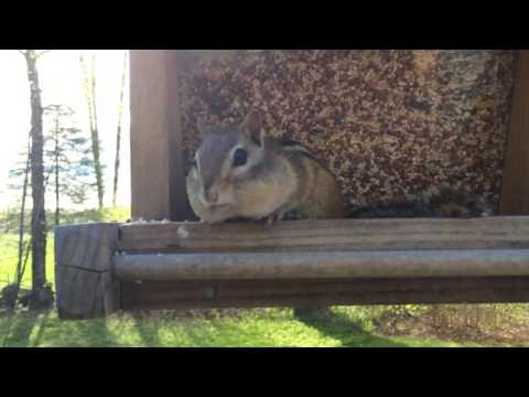 Chipmunk The Thief Has No Chances To Escape!